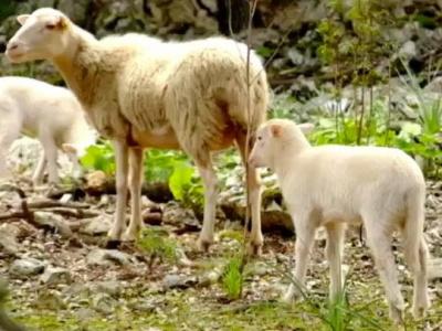 Schafe1